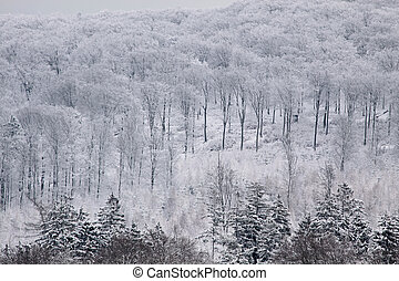 Snowy winter forest in the Taunus - Wintry view with snow...