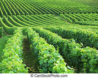 Vineyards in Colombier, Switzerland