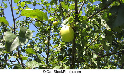 apples 2 - ripe apples on a branch