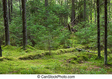 Mystery forest - Depths of the softwood forest at summer,...