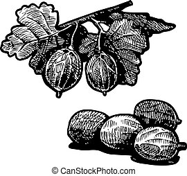 gooseberry - Vector illustration of gooseberry bush a...