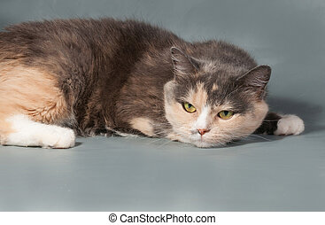 Tricolor cat with yellow eyes lies on gray