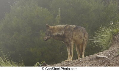 Iberian wolf in the mountainside where the mist begins to...