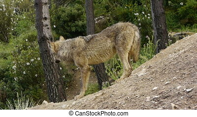Iberian wolf sniffing the ground where there were food