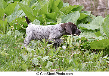 german shorthaired pointer puppy pointing