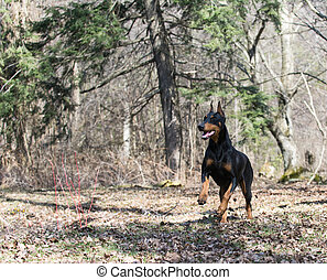 doberman running - doberman pinscher running in the woods