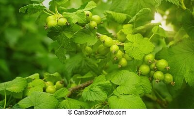 Unripe berries of black currant on bushes