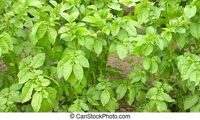 Green foliage of potato close up.