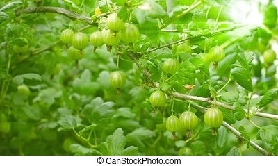 Green gooseberries on the bushes - Video UHD - Green...