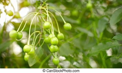 Unripe cherries on the branches of a tree in the garden -...