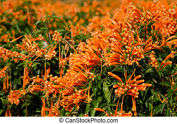 Orange trumpet Pyrostegia Venusta