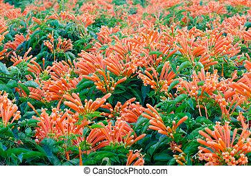 Orange trumpet Pyrostegia Venusta