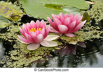 Water garden - Black Princess waterlilies reflecting in...