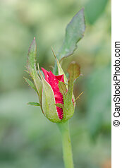 Rosebud - A Rosebud and leaves about to bloom
