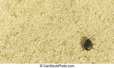 Small black beetle running through the sand - macro