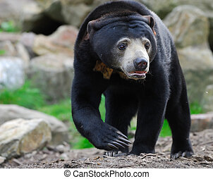 Sun Bear (Helarctos malayanus) - Close up of a Malayan Sun...