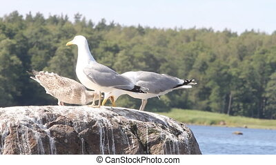 family of seagulls, feeding of a chick , sea birds colony life
