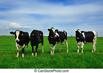 cows on farmland - Cows on on farmland in the Netherlands