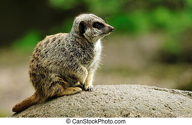 cute meerkat - close up of a cute meerkat Suricata suricatta...