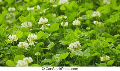 Trifolium repens (White clover or Dutch clover) close up