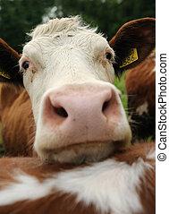vacas, tierras labrantío