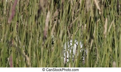 seagull hid in grass a breeze on the sea coast - seagull in...