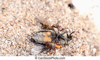 ant got a fly and bears in an ant hill macro - ant victim on...