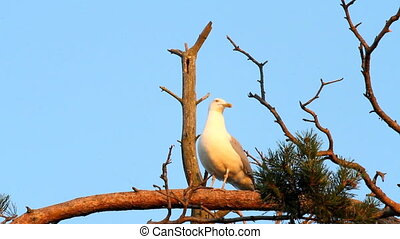 seagull big white on a branch colony of birds voices of...