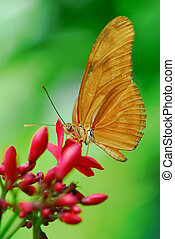 Julia Butterfly or Julia Heliconian on a flower (Dryas...