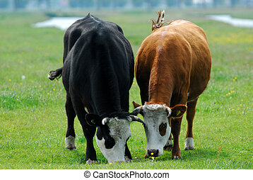 cows on farmland - Cows on grazing on farmland in the...