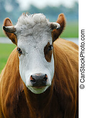 Funny Cow - Close-up of a funny cow on on farmland in the...