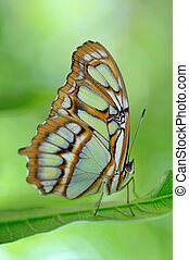 Scarce bamboo page butterfly - Scarce bamboo page butterfly...