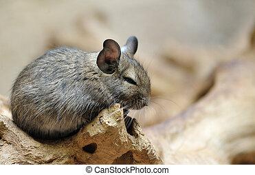 Cute chinchilla Chinchilla lanigera