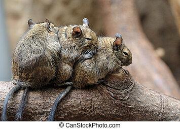 Cute chinchilla (Chinchilla lanigera)