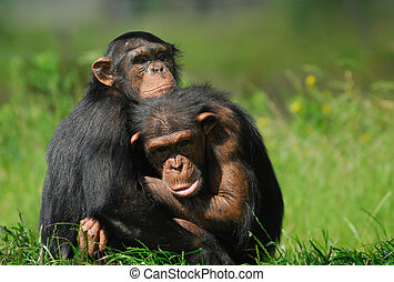 two cute chimpanzees - close-up of two cute chimpanzees Pan...