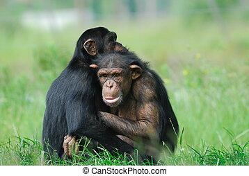 かわいい, チンパンジー, 2