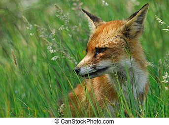 A beautiful fox (Vulpes vulpes) in the sand dunes of the...