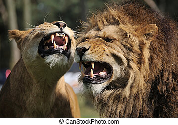 Angry lion - Close-up of a big angry African male and female...
