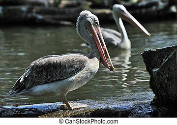 pelican catching some fish - pelican caught some fish