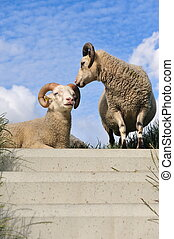 sheep on top of the dike in the Netherlands