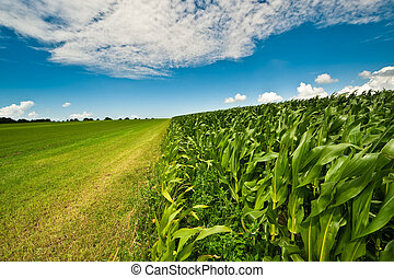 Corn on farmland in summer - Farmland in summer with fresh...