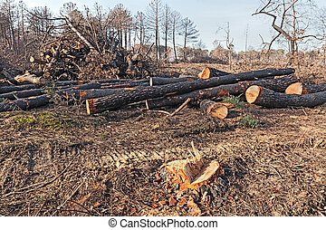 cutted trees - cutting of dead trees after the fire of...