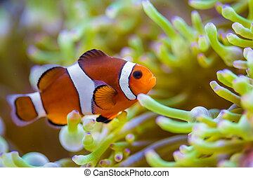 payaso, pez, coral, arrecife