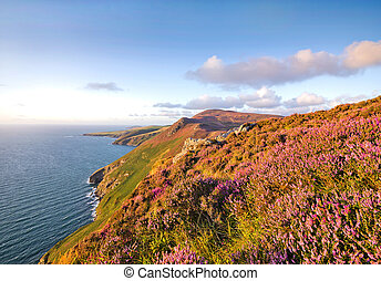 Heather in Bloom. Isle of Man Moorlands - Blooming Heather...