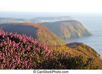 Blooming Purple Heather, Cliffs and Sea Isle of Man -...