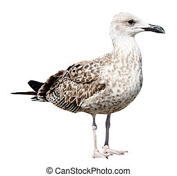 Grey Seagull isolated on white background - Big Grey Seagull...