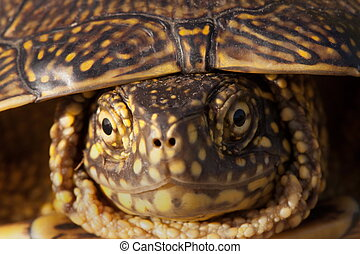 red eared slider turtle in the wild, surrounded by typical...