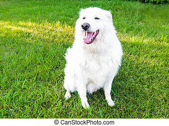 Maremma Sheepdog on the grass in the garden