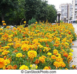 orange tagetes in flowerbed