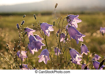 Bell flower with morning dew - Bell flower Campanula...